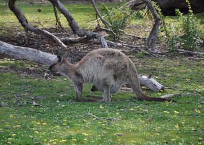 kangaroo-joey