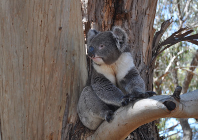 koala-sitting