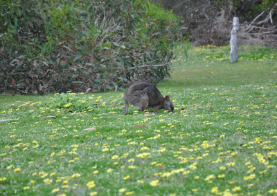 wallaby-grazing